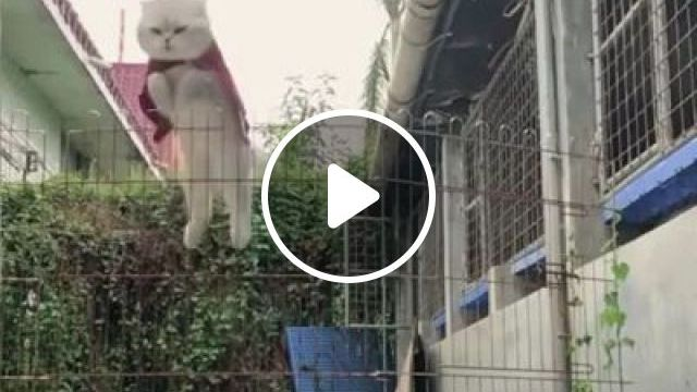 Very Strong Cats Can Jump Very High - Video & GIFs | Animals & Pets, white cats, lovely cats, iron fences, high jumps, cat breeds, superman clothes