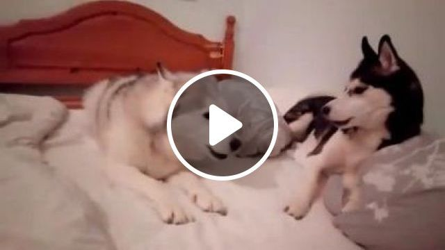 Dogs Are Playing On Soft Mattresses In Bedroom - Video & GIFs | Animals & Pets, cute dogs, dog breeds, plush mattresses, bedroom furniture
