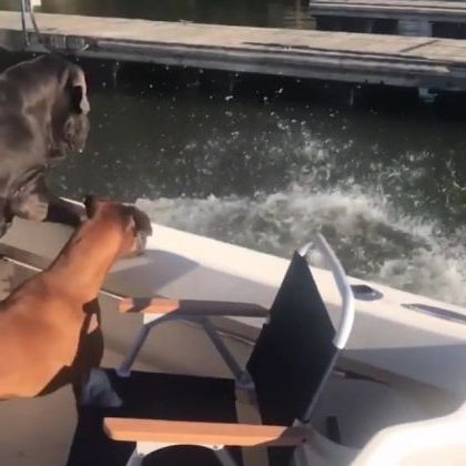 dogs were very sad when a man fell into water from tourist boat - Video & GIFs   Animals & Pets, smart dogs, dog breeds, rich men, tourist boats, tourist boats, Dubai tours