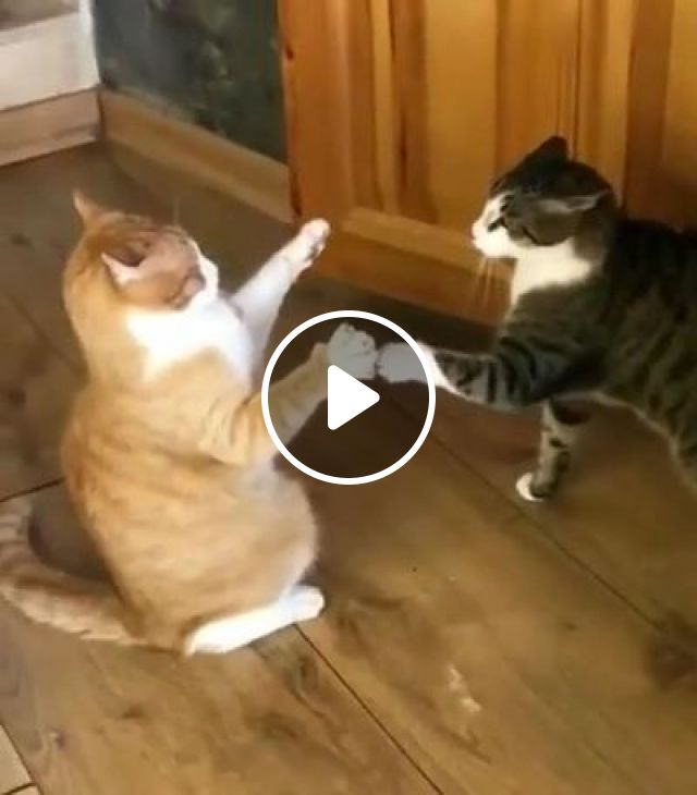 Cats Shake Hands In Living Room - Video & GIFs | Animals & Pets, cats, cat breeds, living rooms, luxurious furniture