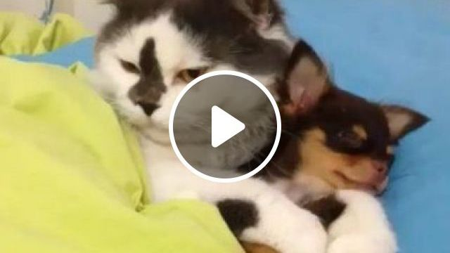 Dog And Cat Sleeps On A Luxurious Bed In Bedroom - Video & GIFs | Animals & Pets, smart cats, cute puppies, dog breeds, luxurious bedrooms