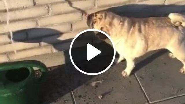 Smart Dog Is Drinking Water From Tap - Video & GIFs | Animals & Pets, smart dogs, dog breeds, Yard Hydrants