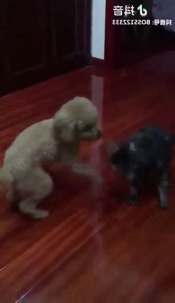 Dog and cat play in living room