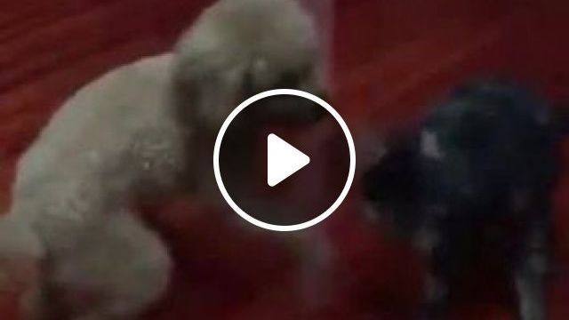 Dog and cat play in living room, Animals & Pets, funny dogs, cute cats, living room furniture