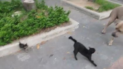Cat mother protecting kittens against dog on the street