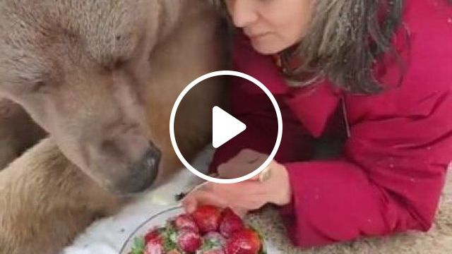 Big Bear Enjoying Some Strawberries - Video & GIFs | Nature & Travel, tourists, female fashion, care, wild animals, friendly