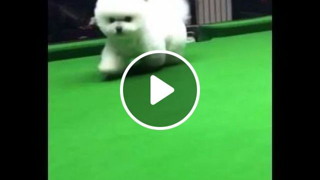 Dog goes on snooker table and falls into hole, Animals & Pets, funny dog, dog breeds, white dog, snooker table, adorable dog