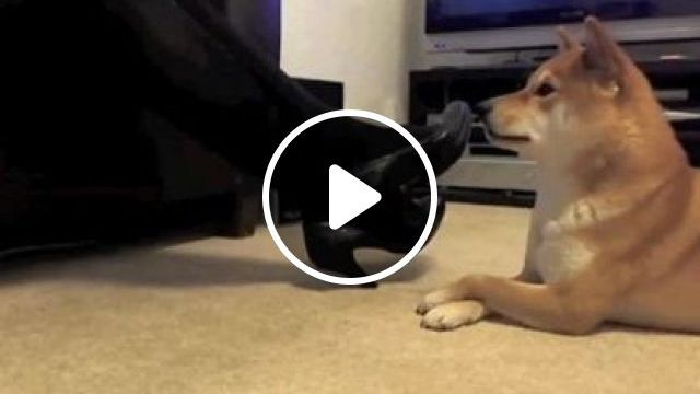 Smart Dog Mimics Action Of Girl In Apartment - Video & GIFs | Animals & Pets, yellow dogs, breed dogs, smart dogs, stylish high heels, luxury apartments