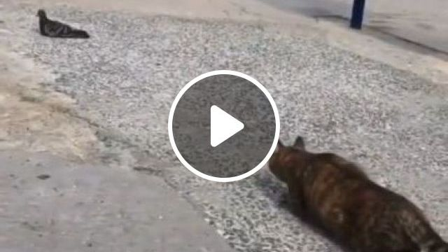 Cat Likes To Play With Pigeons On The Street - Video & GIFs | Animals & Pets, smart cats, cat breeds, black pigeons, tourists Italy