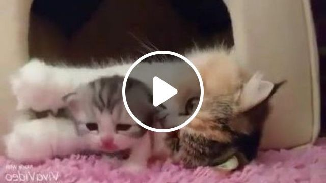Mother Cat Is Happy To Be Beside Kitten In Living Room - Video & GIFs   Animals & Pets, cute cats, luxury apartments