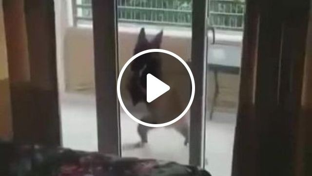 Dog Dancing At Apartment Balcony - Video & GIFs | Animals & Pets, smart dogs, cute dogs, dog breeds, luxury apartments, balcony apartments