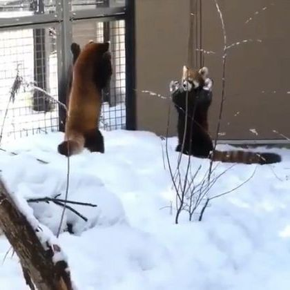 Red pandas with language when they meet