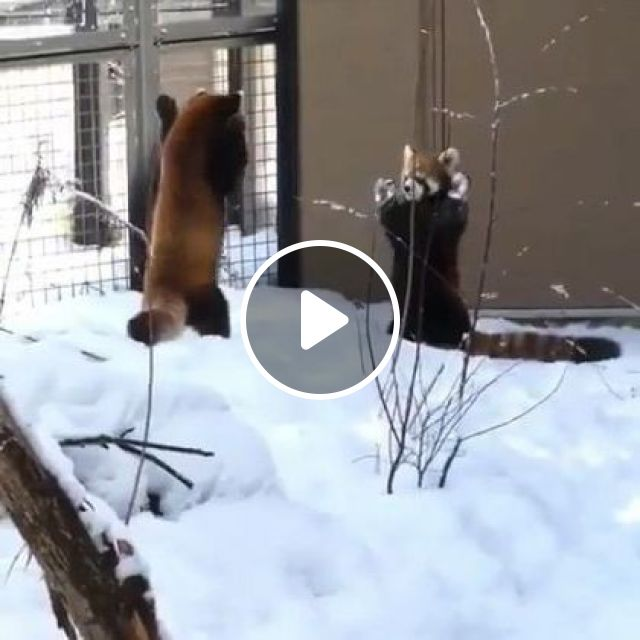 Red pandas with language when they meet, Animals & Pets, funny animals, animal languages, winter snow, Red pandas