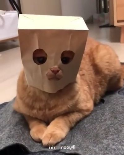 Cat is wearing a cake bag in kitchen