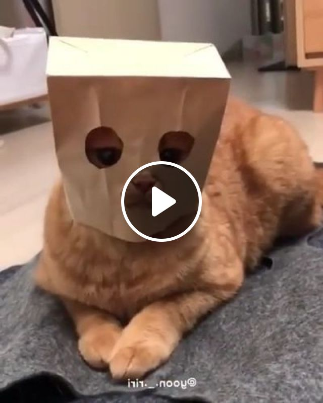 Cat is wearing a cake bag in kitchen, Animals & Pets, funny cats, cute cats, kitchen furniture, yellow fur cats