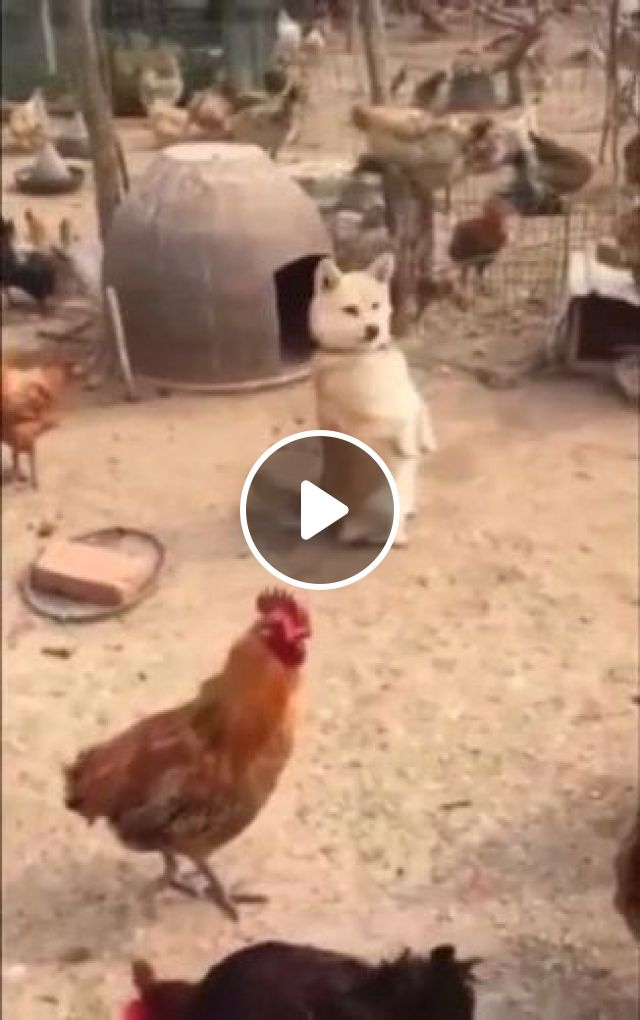Very Cute, dog in chicken farm, Animals & Pets, smart dogs, dog breeds, chicken farms, commercial chicken