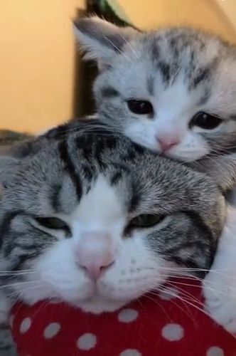 Kittens like to climb on the head of mother cat to sleep in bedroom