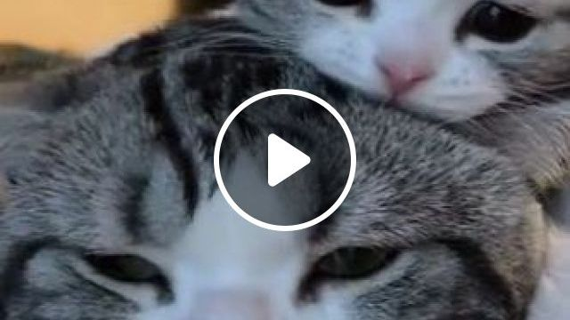 Kittens Like To Climb On The Head Of Mother Cat To Sleep In Bedroom - Video & GIFs | Animals & Pets, lovely cats, lovely kittens, bedroom furniture, animal care