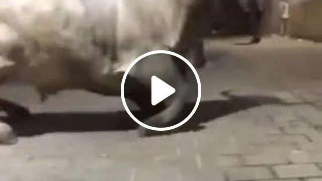 cow joined  festival with everyone - Funny Videos - funnylax.com - Animals & Pets, Cow festivals, European travel, Spanish streets