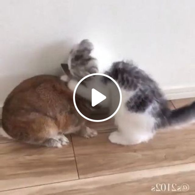 Cat Thinks Rabbit Is Mother - Video & GIFs | Animals & Pets, cute kittens, cute rabbits, friendly animals, luxury apartments