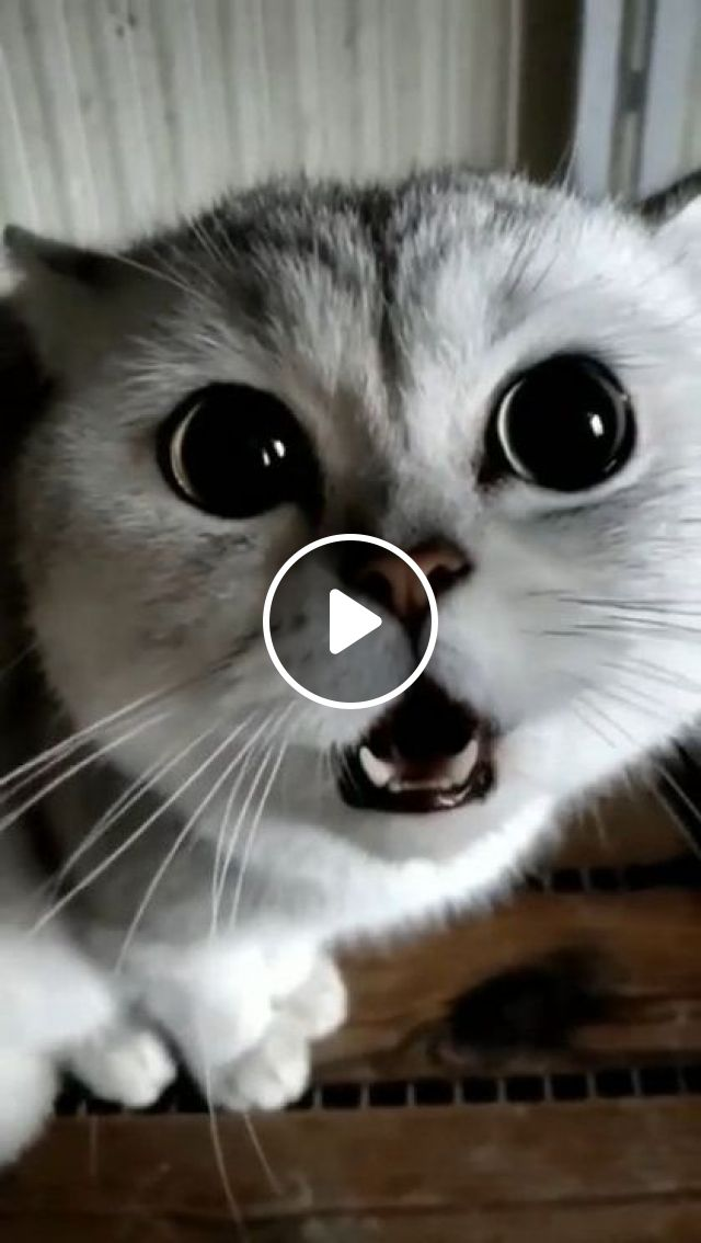 Kitten Is Happy To Travel With Girl - Video & GIFs | Animals & Pets, cute kittens, cat breeds, French tourists
