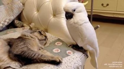 cat sleeps on a plush sofa and parrot wants to play with it