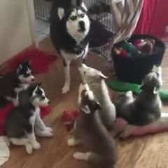 mother dog teaches puppy to practice barking in house