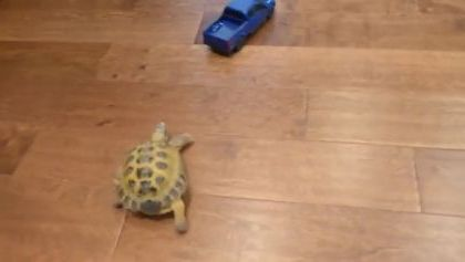 turtle tries to follow toy car in apartment