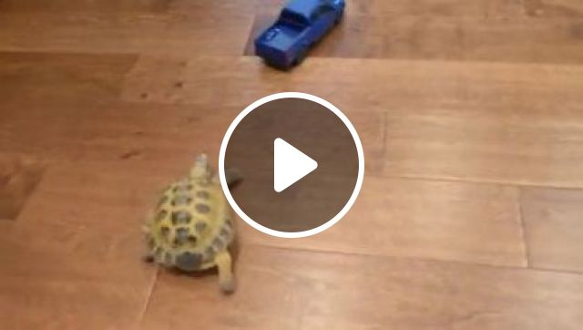 Turtle Tries To Follow Toy Car In Apartment - Video & GIFs | Animals & Pets, toy cars, tram toys, apartment furniture