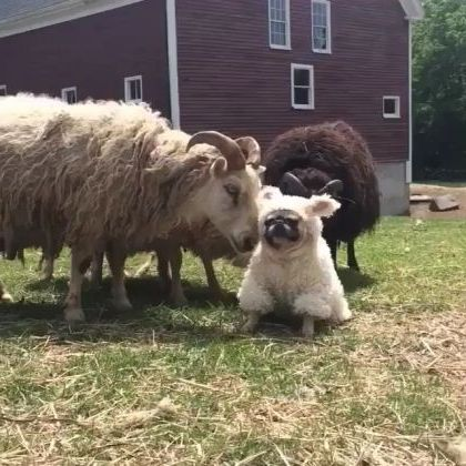 Dogs and sheep play together on the farm