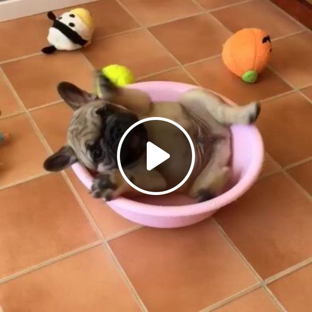 Puppy Likes To Play With Stuffed Animals And Plastic Pots In Living Room - Video & GIFs | Animals & Pets, cute puppies, stuffed animals, luxury apartments