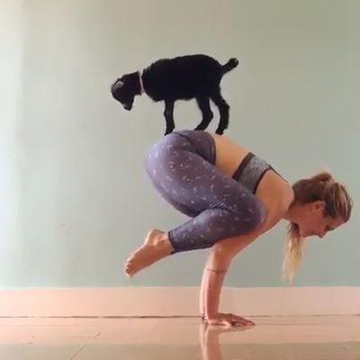 baby is watching mother and goat exercise together - Video & GIFs   Animals & Pets, cute babies, baby clothes, cute moms, female clothes, smart goats, yoga practice, apartment furniture