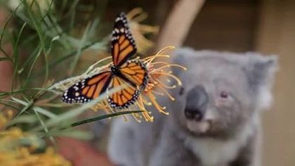 Willow Koala bear photobombed by a Monarch Butterfly