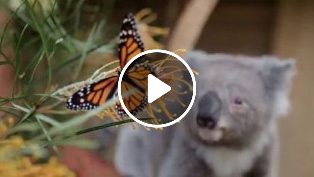 Willow Koala bear photobombed by a Monarch Butterfly, Animals & Pets, koala bears, beautiful nature, colorful butterflies