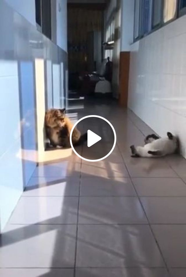 cat really wants to play with another cat, Animals & Pets, lovely cats, funny cats, cat breeds