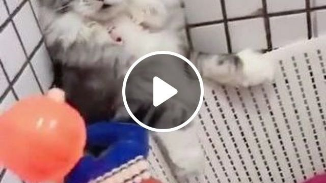 Kittens like to play with children's toys, Animals & Pets, Cute Kittens, kids toys, premium toys