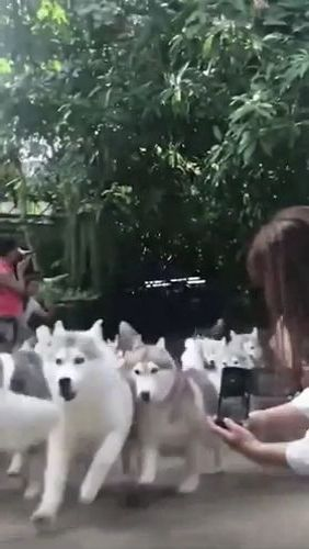 Girl filming with her smartphone adorable dogs
