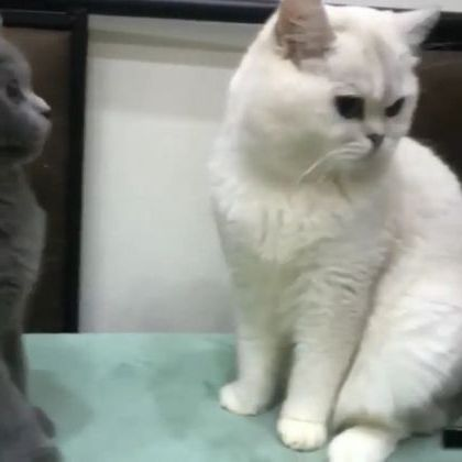cat with fur is sprayed with luxurious perfume