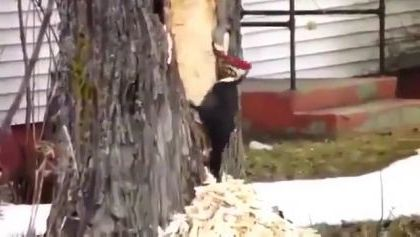 bird is operating a large tree in yard