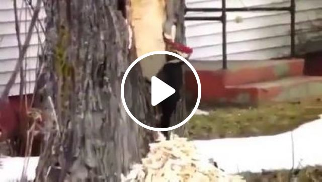 bird is operating a large tree in yard, Animals & Pets, smart birds, lovely birds