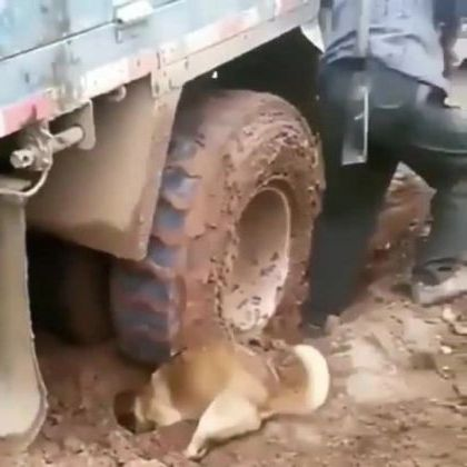 dog helps a man rescue truck from mud