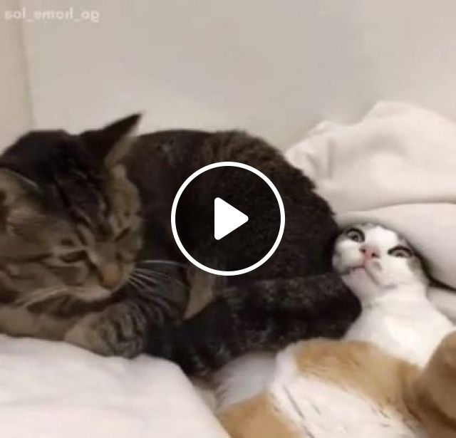 Cats like to lie in a luxurious bed, Animals & Pets, cute cats, funny cats, plush beds, luxury apartments
