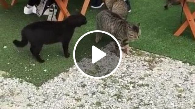 In A Restaurant, Camera Records A Cat Who Wants Other Cats To Be At Peace - Video & GIFs | Animals & Pets, smart cats, cute cats, friendly cats, italian restaurants, italian travel, camera recording