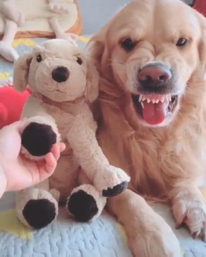 dog does not want girl to take a teddy bear in bedroom