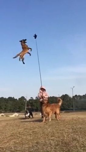 Police dogs can jump very high