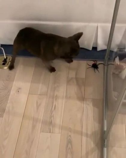 puppy plays with  giant spider in  clothing store - Funny Videos - funnylax.com - animals & pets,dog puppy,dog breeds,clothing store