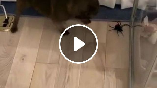Puppy Plays With Giant Spider In Clothing Store - Video & GIFs   animals & pets, dog puppy, dog breeds, clothing store
