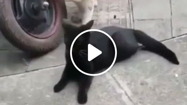 Cat...when Wife Comes Home Too Early - Video & GIFs | animals & pets, cat, cat breeds, motorbikes