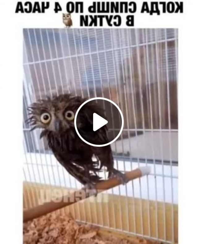 Owl Is Exercising In Cage - Video & GIFs   animals, pets, pet care, cage