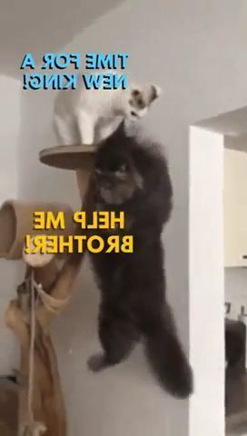 Who is  king of  house - Funny Videos - funnylax.com - animals & pets,cats,houses,furniture
